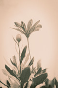 Lars Hallstrom - Flower in sepia
