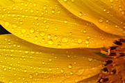Sun Flower Prints - Flower - Its sunny but raining Print by Mike Savad