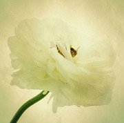 Petal Photo Prints - Flower Print by Kristin Kreet