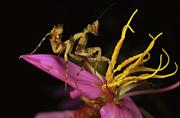 Flower Mantis Nymph Print by Mark Moffett