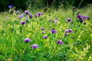 Hannes Cmarits - flower meadow