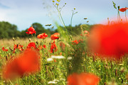 Mohnblume Prints - Flower meadow in summer with red poppy Print by Matthias Hauser