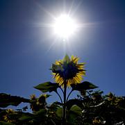 Flower Of Sunflowers Print by Bernard Jaubert