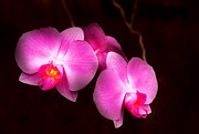 Magenta Posters - Flower - Orchid - Better in a set Poster by Mike Savad
