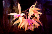 Orange Flowers Prints - Flower - Orchid - Laelia - Midnight Passion Print by Mike Savad