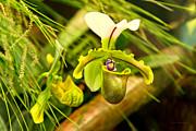 Mike Savad - Flower - Orchid - Paphiopedilum insigne