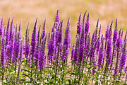 Lavender Blossom Prints - Flower - Speedwell figwort Family - I dream of lavender  Print by Mike Savad