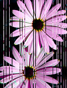 Daisies Prints - Flower Study 1 - Pink Daisy Flowers - By Sharon Cummings Print by Sharon Cummings