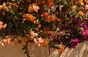 Flower Trellis In La Jolla Print by Anna Lisa Yoder