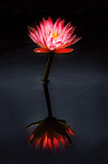 Bright Pink Prints - Flower - Water Lily - Nymphaea Jack Wood - Reflection Print by Mike Savad