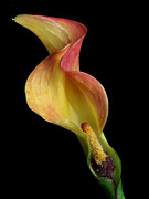 Cala Lilly Prints - Flower Waves Print by David and Carol Kelly