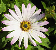 Cute Pyrography Prints - Flower - White and Purple Colorado Mountain Daisy Print by Amy McDaniel