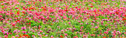 Carpet Photo Posters - Flowerbed Panorama Medium - Featured 3 Poster by Alexander Senin