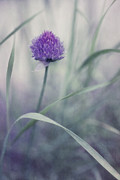 Purple Posters - Flowering Chive Poster by Priska Wettstein