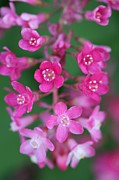 Mark Severn - Flowering Currant
