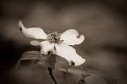 Dogwood Blossom Photos - Flowering dogwood blossom by Oscar Gutierrez