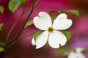 Flowering Dogwood Blossoms Print by Oscar Gutierrez
