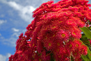 Mamie Thornbrue - Flowering Gum Tree