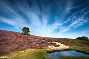 Gelderland Prints - Flowering heather  Print by Olha Rohulya