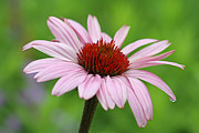 Floral Photographs Photos - Flowering Pink Coneflower by Juergen Roth