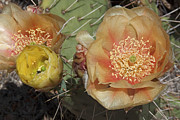 Jennifer Nelson - Flowering Prickly Pear