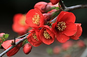 Quince Prints - Flowering Quince Print by Angie Vogel