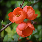 John Tidball Metal Prints - Flowering Quince Metal Print by John Tidball