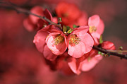 Joy Watson Photography Posters - Flowering Quince Poster by Joy Watson
