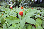 JPLDesigns - Flowering Red Ginger...