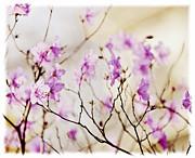 Flowering Rhododendron Print by Elena Elisseeva