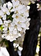 Tara Lynn - Flowering Tree