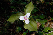 Forest Floor Photos - Flowering Trillium by Jonathan Welch