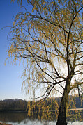 Next To Tree Prints - Flowering Willow Tree Print by Melinda Fawver