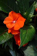 Impatiens Flowers Photos - Flowers 501 by Joyce StJames