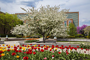 Tree Roses Photos - Flowers and Tree at Michigan State University  by John McGraw