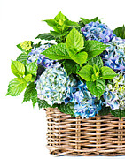 International Floral Delivery Prints - Flowers in Basket Print by Boon Mee