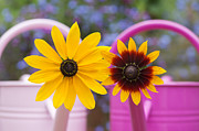 Asteraceae Photos - Flowers in pink watering can by Tim Gainey