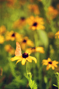 Black Eye Susan Prints - Flowers of Summer Print by Darren Fisher