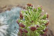 Charmian Vistaunet - Flowers on Mauna Kea Silversword