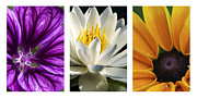 Water Lily Digital Art - Flowers Triptych by Christina Rollo