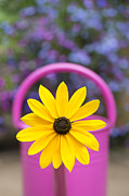 Asteraceae Prints - Flowery watering can Print by Tim Gainey