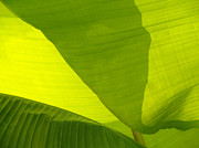Backlit Leaf Prints - Flowing Banana Leaf Print by Anna Lisa Yoder