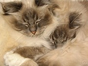 Cats Birman Prints - Fluffy duo Print by Gun Legler