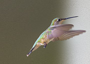Flying Hummingbird Framed Prints - Flutter Hummer Framed Print by Bill Tiepelman
