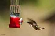 Obryant Photos - Fluttering Hummingbird by Tyra  OBryant
