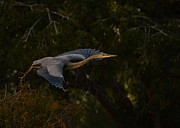 Great Heron Photos - Fly Away by Adrian Tavano
