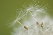 Seedhead Framed Prints - Fly Away Framed Print by Anne Gilbert