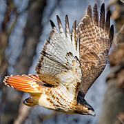 Red-tailed Hawk Posters - Fly Away Poster by Bill  Wakeley