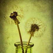 Dandelion Photos - Fly Away by Priska Wettstein