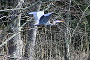 Herons Photos - Fly By  by Neal  Eslinger
